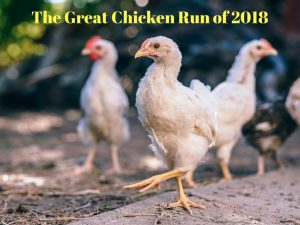 The Great Chicken Run of 2018
